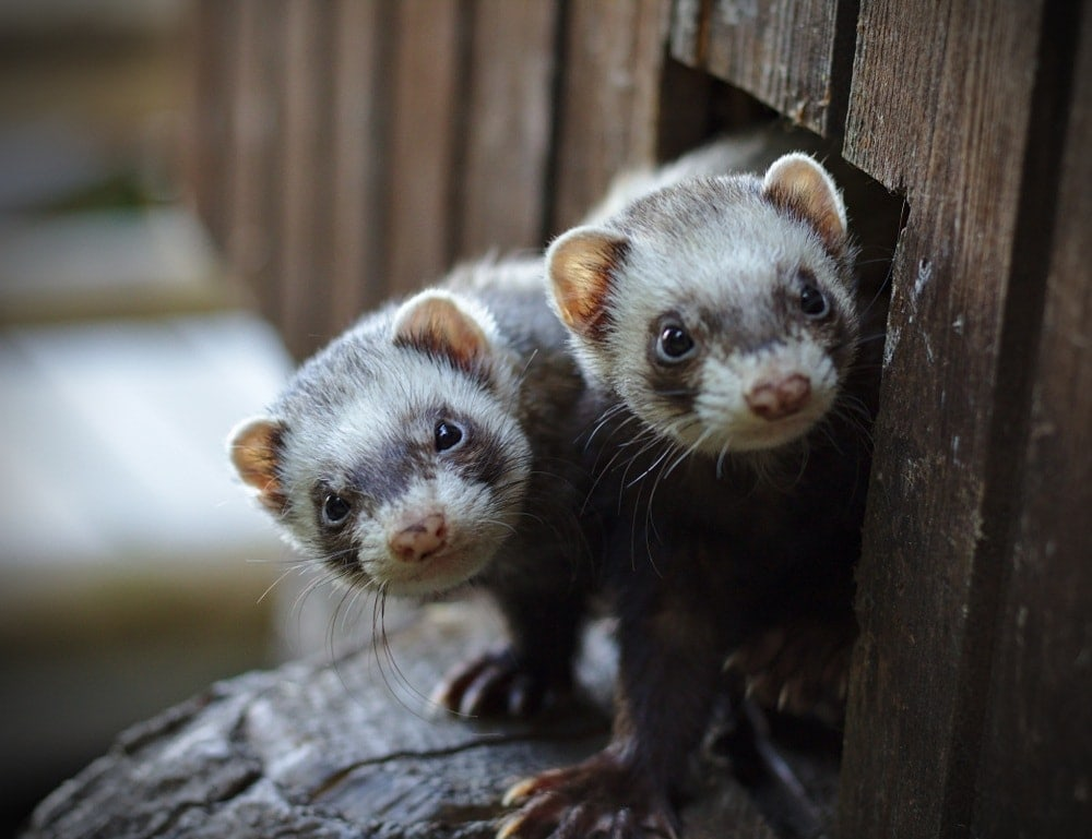 two ferrets poking out of hole