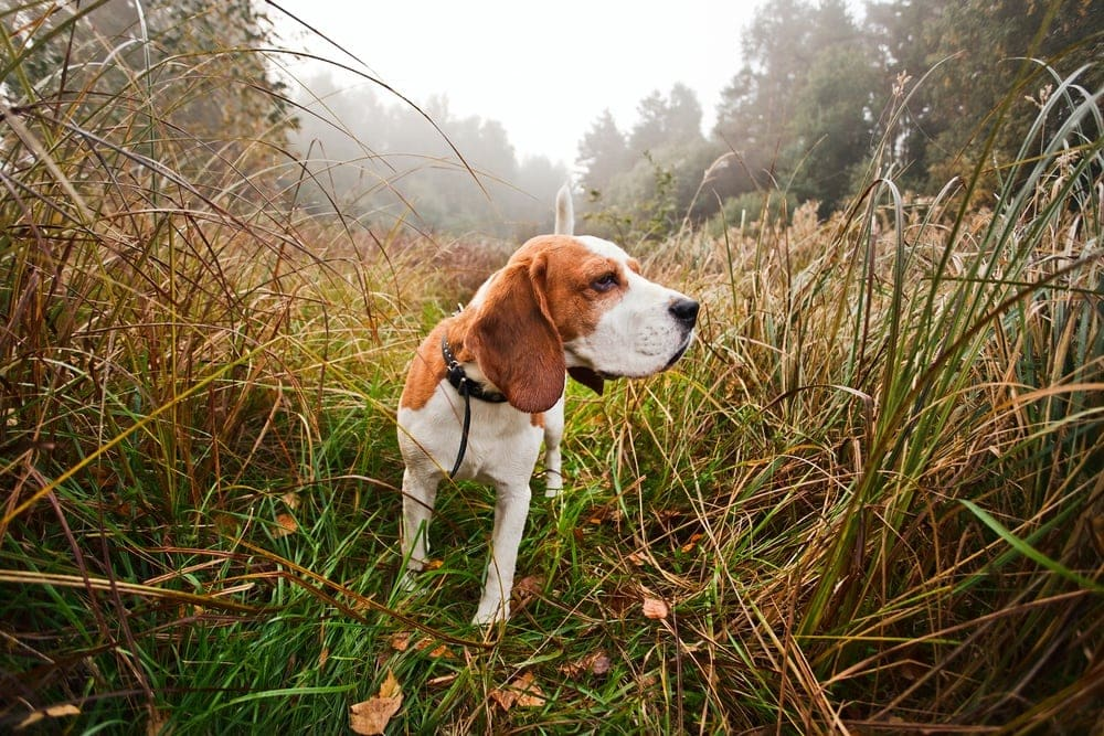 hunting dog in tall grass