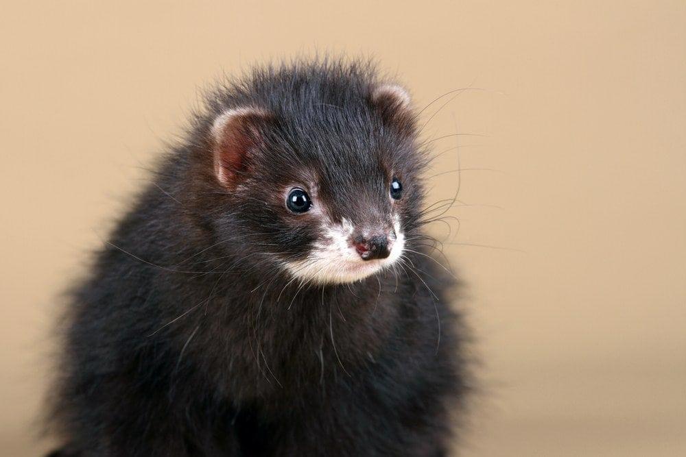 black ferret closeup