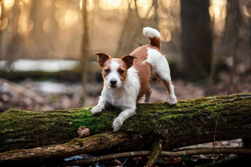 jack russell terrier on log