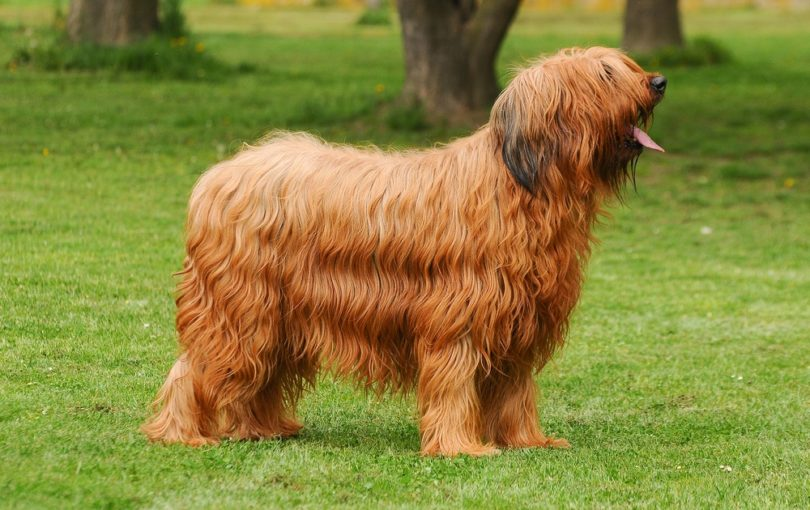 briard dog_Ricantimages, Shutterstock