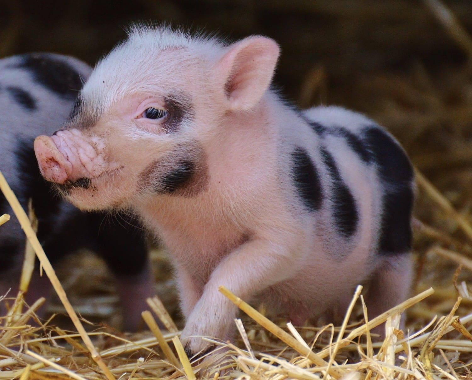 spotted baby piglet