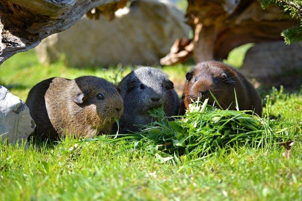 three guinea pigs eating