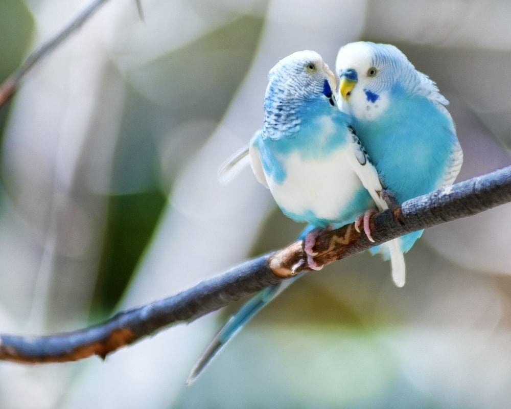 blue parakeets cuddling