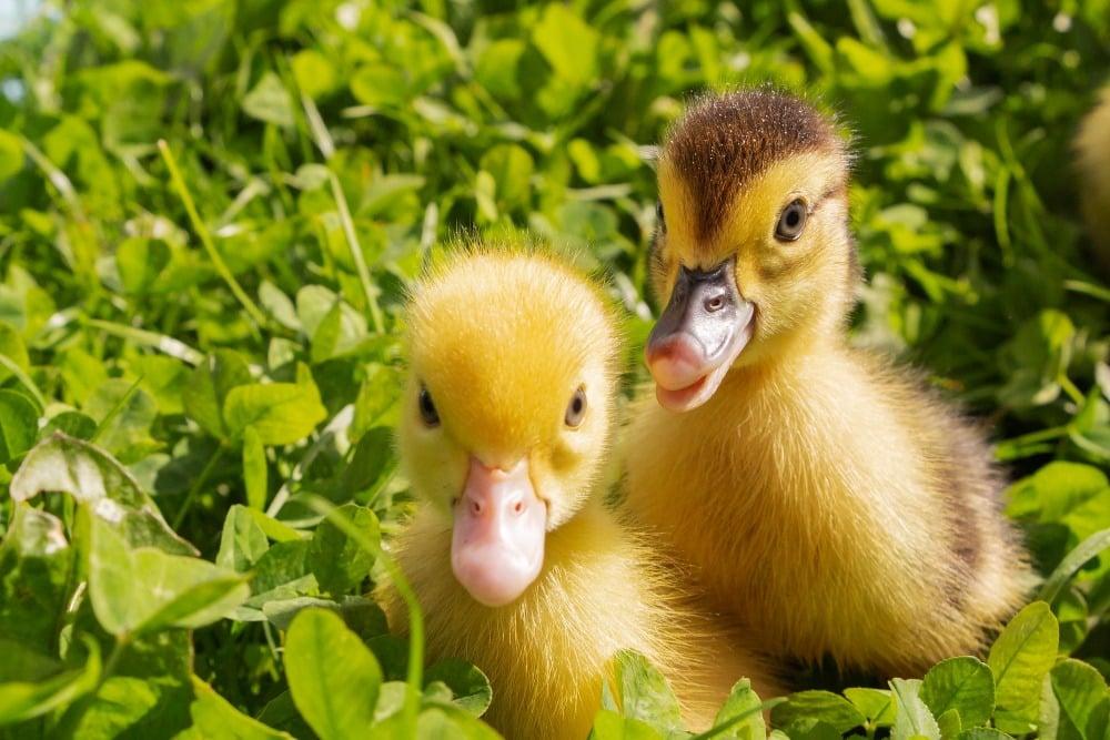 two cute ducklings
