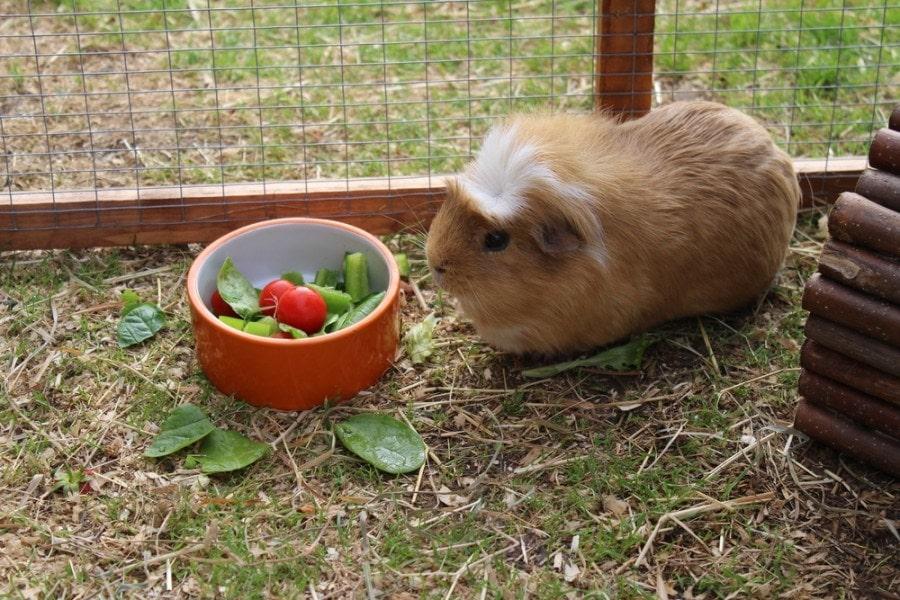 guinea pig eating_RJM Bishop_shutterstock
