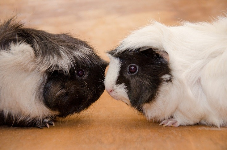 Abyssinian Guinea Pig