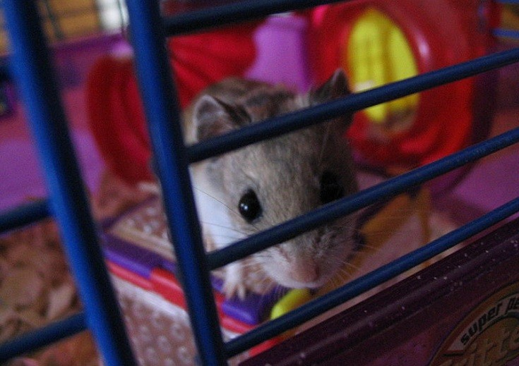 Chinese hamster inside cage