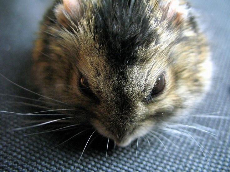 Dwarf Winter White Russian Hamster Headshot