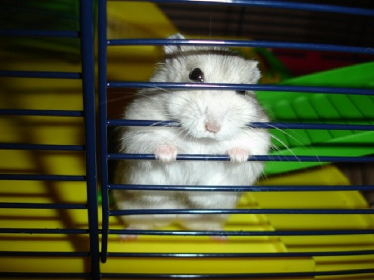Dwarf Winter White Russian Hamster inside cage