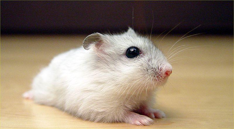 Dwarf Winter White Russian Hamster