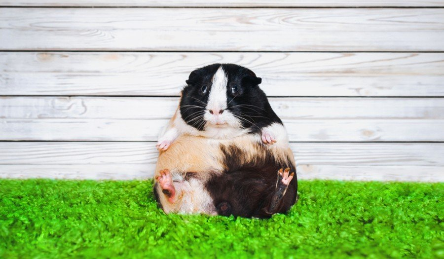 Funny fatly and lazy guinea pig_shchus_shutterstock