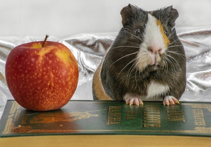 Grey Guinea Pig and apple