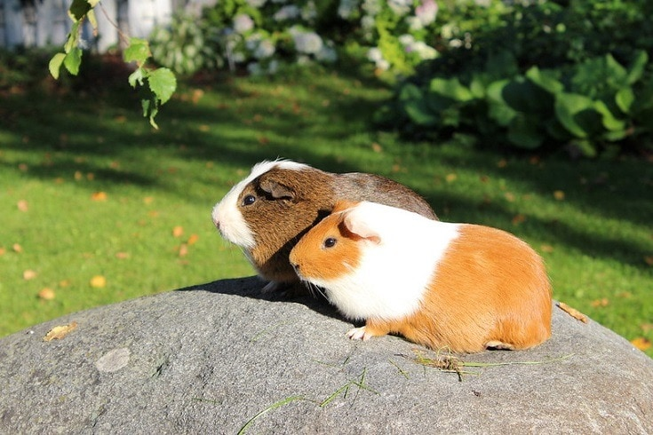 Guinea Pig duo side view