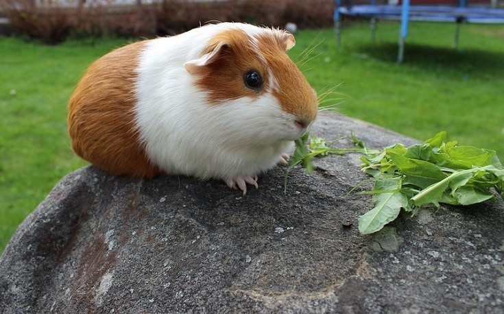Guinea Pig on rock