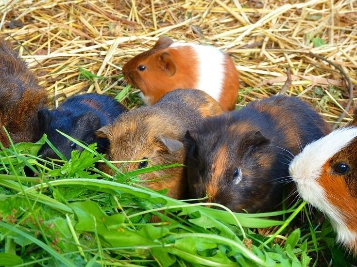 Guinea Pigs eating green food