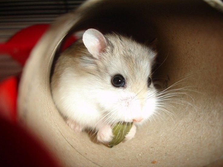 Roborovski Hamster Dwarf