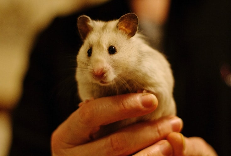 Syrian Hamster being carried