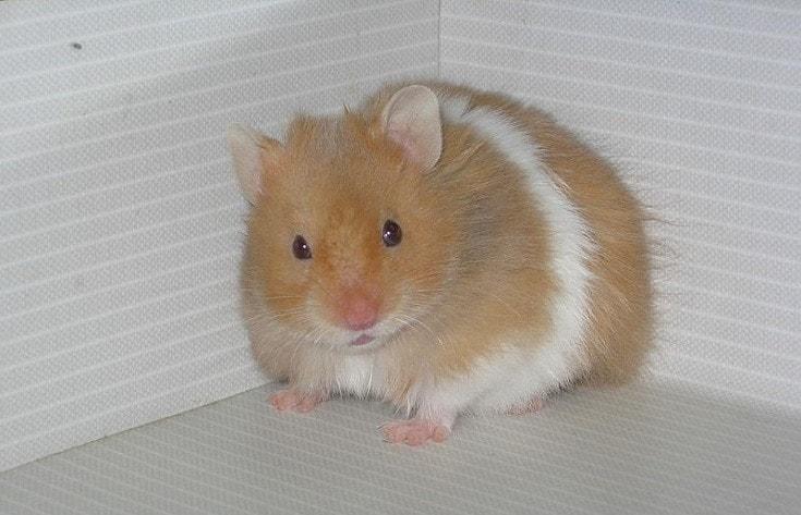 Syrian Hamster white background