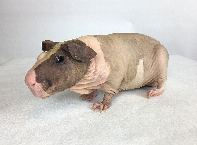 The Baldwin Guinea Pig