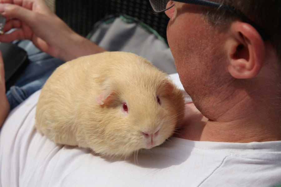 White chubby guinea pig with a man_tetiana dickens_shutterstock