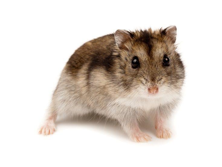 Winter White Russian Dwarf Hamster