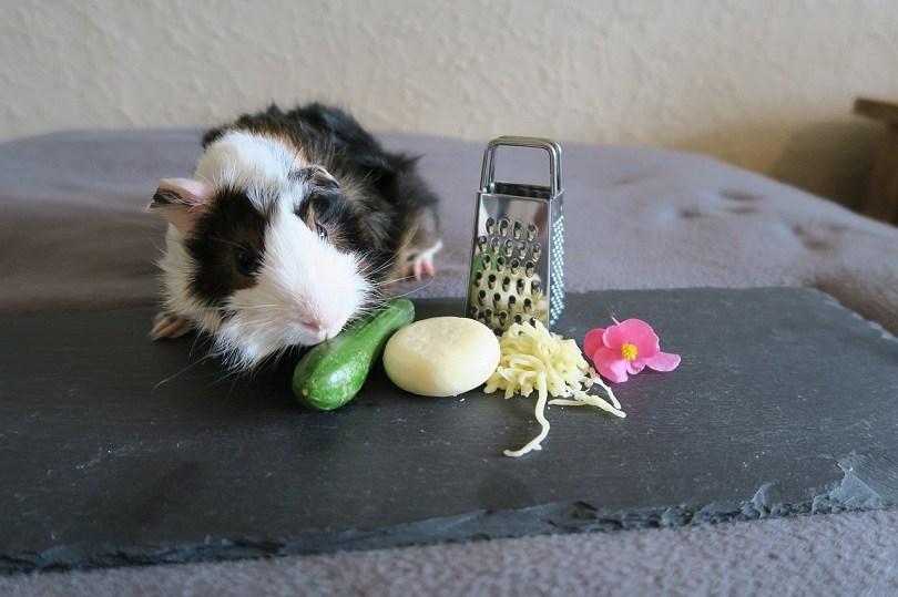guinea-pig-4751531_1280