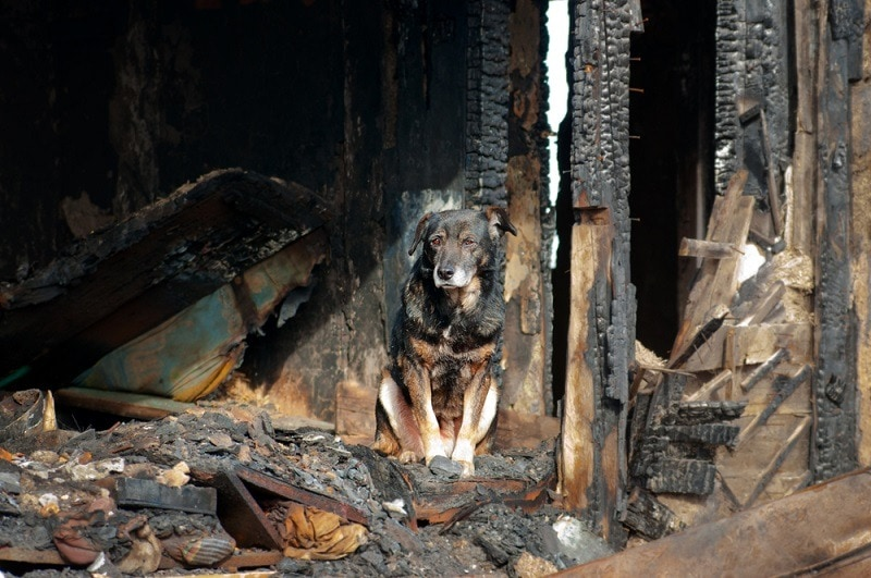 A dog in the house of the owners, burned by the fire house_yevgeniy11_shutterstock