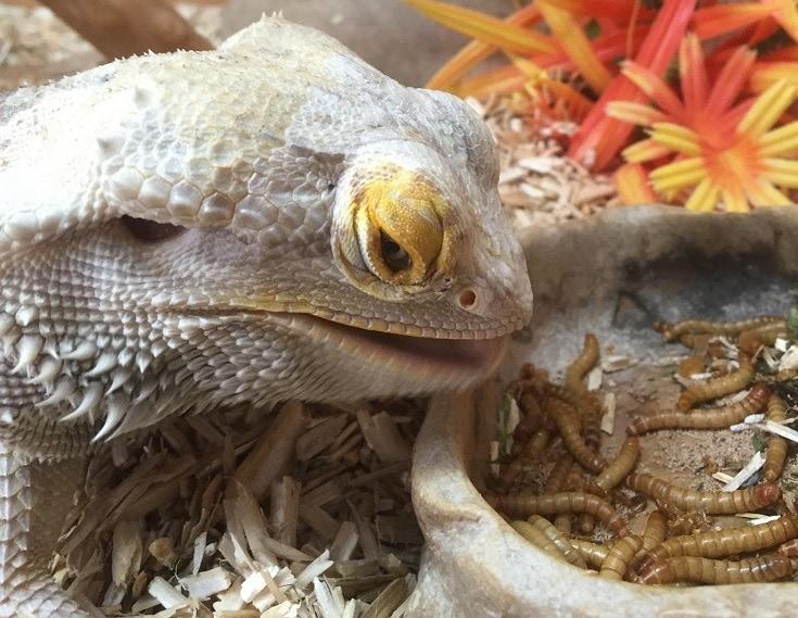Bearded Dragon Feeding