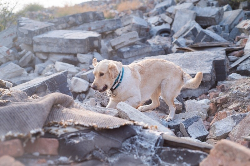 Dog looking for injured people in ruins after earthquake_noska photo_shutterstock