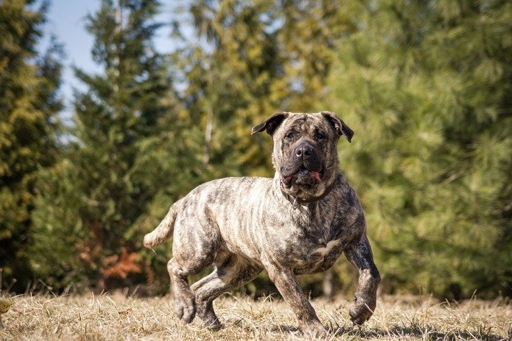 Dogo-Canario_Shutterstock_Eve-Photography