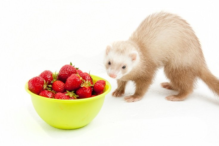 Ferret Eating Straberries