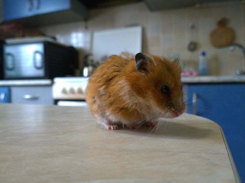 General view of a red Syrian hamster on the surface of a kitchen_oleksandr khalimoonov_shutterstock