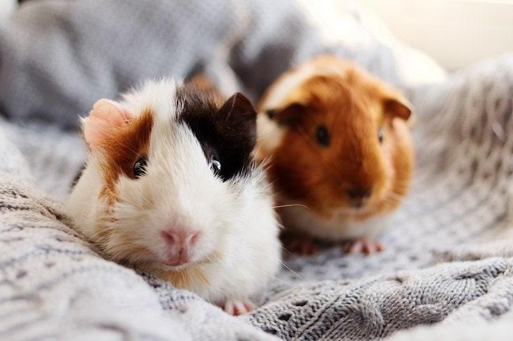 Guinea Pig_Mateusz Sienkiewicz_Shutterstock