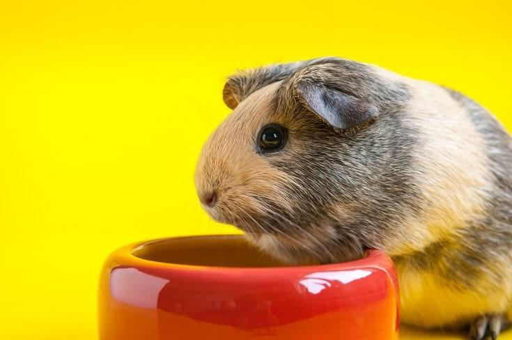 Guinea Pig Bowl