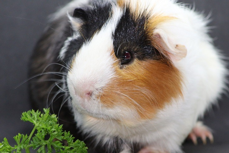 Guinea Pig Eating_ furbymama_Pixabay
