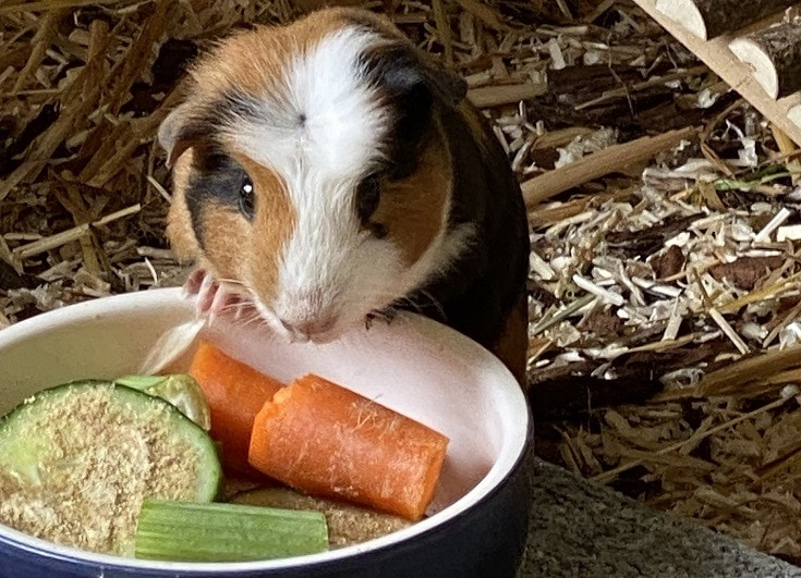 Guinea Pig Eating Cucumber and Carrots