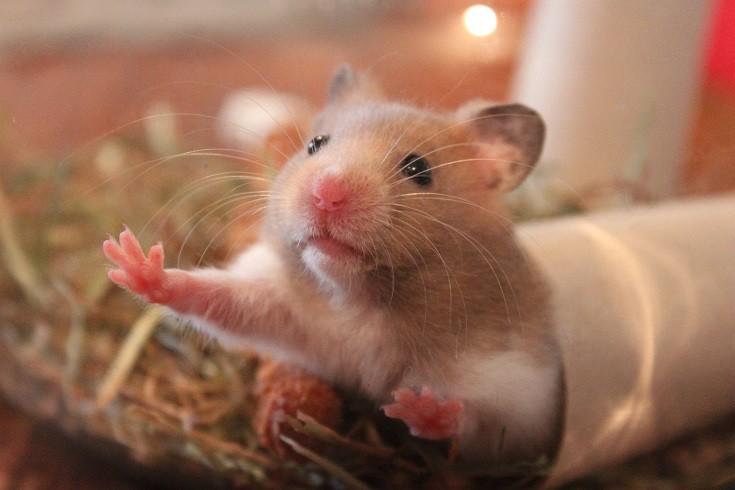 Hamster Cardboard