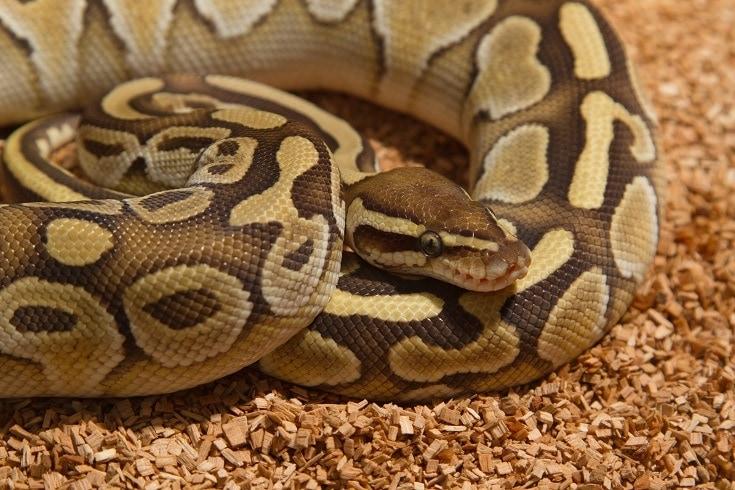 Snake on wood_Praisaeng, shutterstock