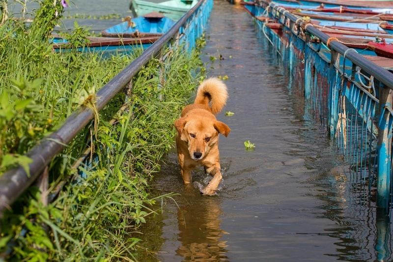 Stray dog running in the water on the flooded sidewalk_OlegD_shutterstock