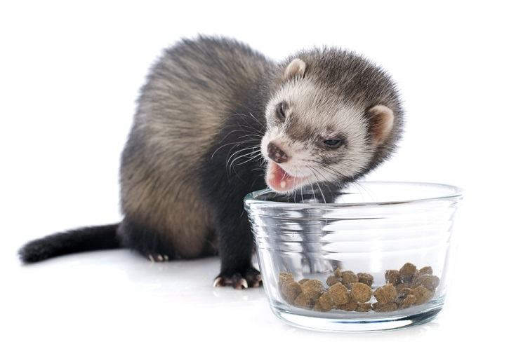 eating brown ferret in front of white background_cynoclub