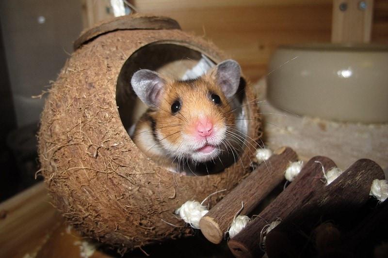 hamster hiding at night pixabay