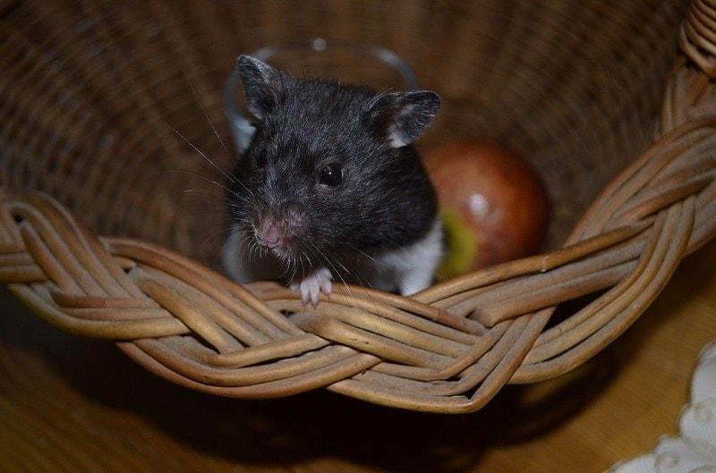 hamster hiding furniture pixabay