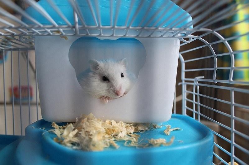 hamster in cage pixabay