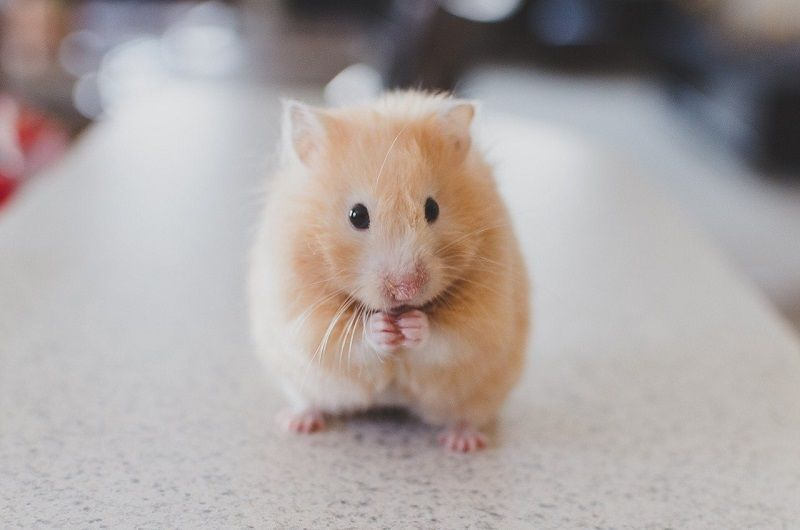 hamster pixabay