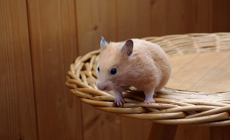 hamster shelves pixabay 2