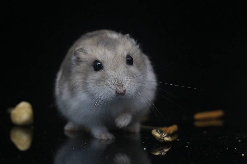 hamster with treats pixabay