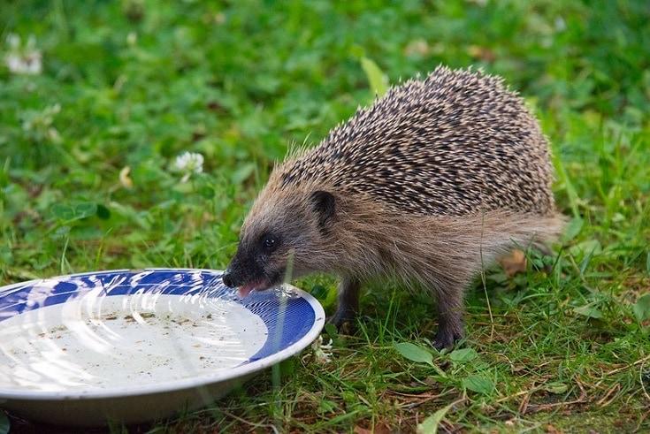 hedgehog drinking water