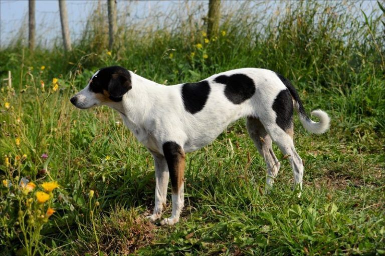 smooth-fox-terrier-outdoor-1-768x511
