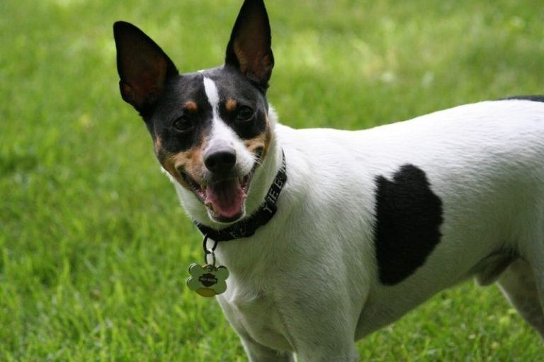 tricolor-smooth-fox-terrier-768x511